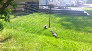 Funny and Cute Skunks WARNING Extremely Hilarious