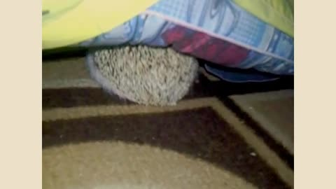 Hedgehog trying to get under the blanket for some sleep