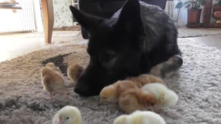 Baby chicks gather around gentle German Shepherd