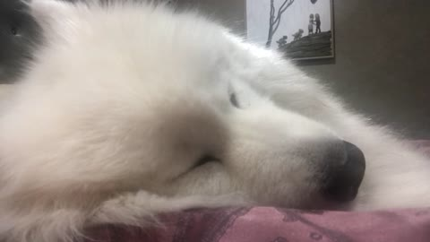 Dog has vivid dream, twitching nose and eyes