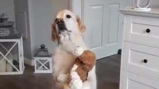 Golden Retriever preciously hugs stuffed animal