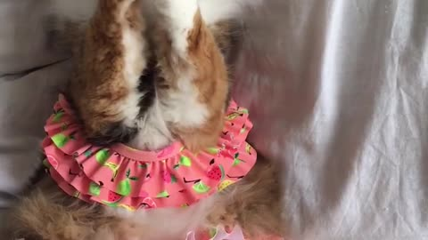 Cat wearing bikini loves playing with string