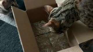 Cat and kitten explore cardboard box together