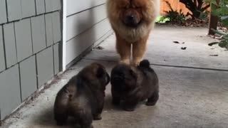 Extremely cute puppies take their first steps
