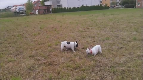 French Bulldog puppy takes her dad for a walk