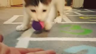 White cat plays fetch with blue ball - Video