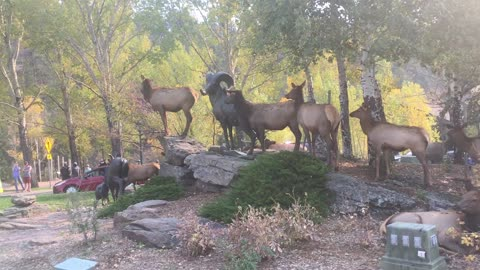 Elk Crosses Busy Intersection to Protect His Harem