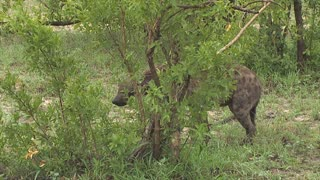 Hyena Fight Ends with Severed Ear
