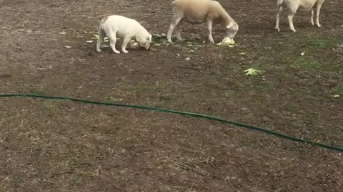 Bulldog thinks she is a sheep