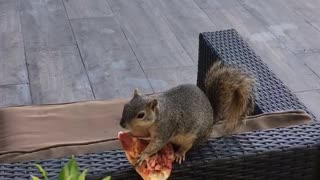 Squirrel Munches on Poolside Snack of Pizza