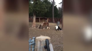 Baby Goat Does Gymnastics Atop An Actual Horse - Video