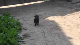 Black little puppy running with ful effort toward main gate to get himself out  - Video