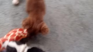 Two puppies playing tug of war.