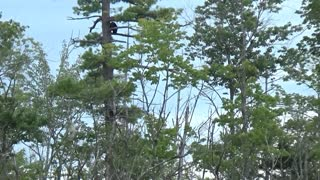 Black Bear Family Climbing Around in a Tall Tree