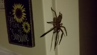 Rejected by a Huntsman Spider - Video