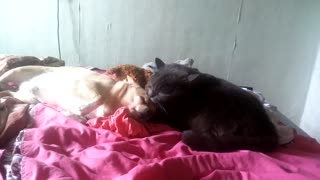 a dog loves a cat. - Video