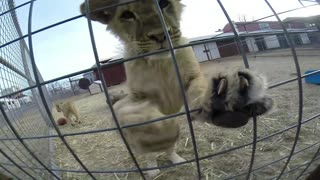 Lion cub close-up at Gentry Safari - Video