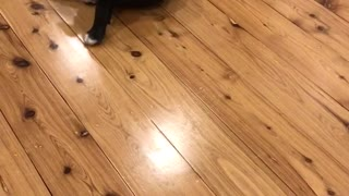 Black and white dog chases tail on hard wood floor - Video