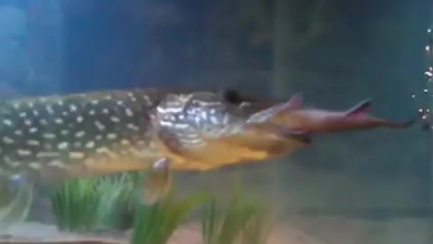13 inch pike fish  eats 8 inch brook trout