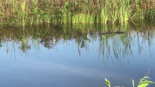 Alligator Swimming in Florida Canal