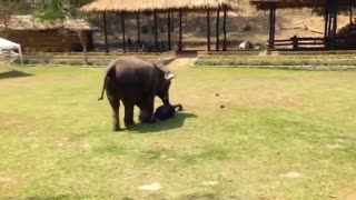 "Mommy Elephant Protects Her Caregiver When She's Being ""Attacked"""