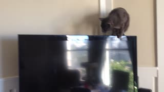 "Cat hilariously falls while ""tightrope-walking"" TV"
