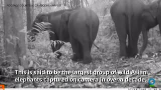 Extremely rare footage of Asian elephants - Video