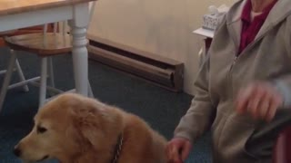 Golden retriever sitting down next to owner