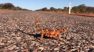 Thorny Devil Lizard Walks Using Hypnotic Movements