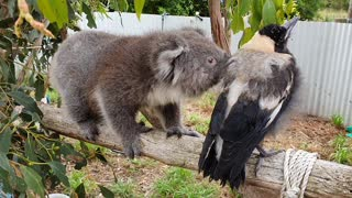 Koala Runs Into Magpie Road Block