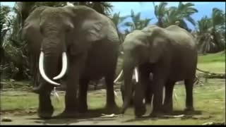the African elephants shown in one place - Video