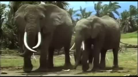 the African elephants shown in one place