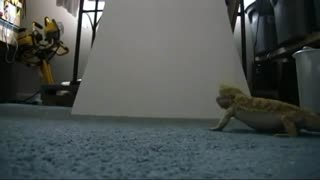 Bearded dragon slides down ramp