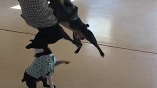 French bull dogs in sweaters hitting green balloon with face in garage