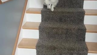 White dog falling down the stairs - Video