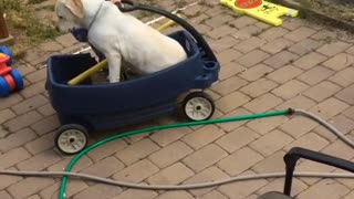 Little brown hair kid plays with dog in blue wagon - Video