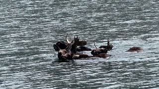 Family of Moose Swimming Across Colorado Lake