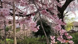 CHERRY BLOSSOMS IN FULL BLOOM JAPAN 2018  - Video