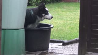 Border Collie is having fun in the water