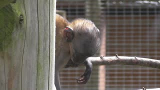 Three Week Old Mountain Monkey Baby - Video