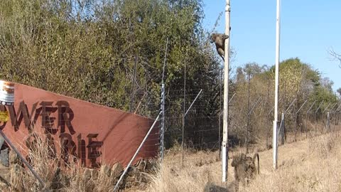 Clever baboons breaking into fence wired camp