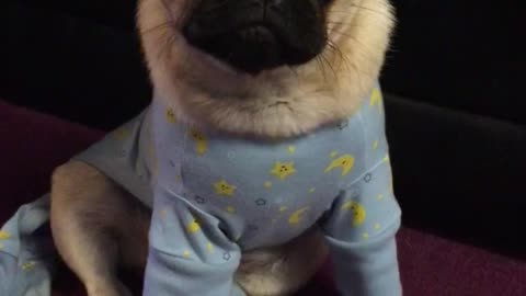 Sophisticated pug gets sick of wearing her glasses!