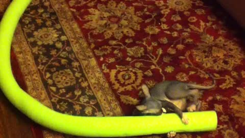 Must See! Sphynx kitten playing with a noodle!