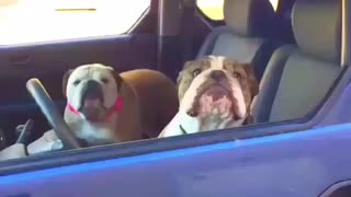 These Bulldog Siblings Are Guaranteed To Make You Smile!