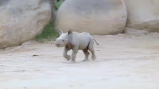 San Diego Zoo welcomes new, rare rhino calf - Video