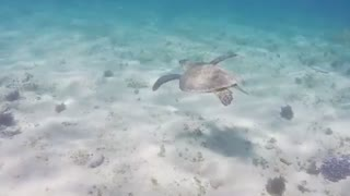 Turtle swims in the waters of Sharm El-sheikh - Video