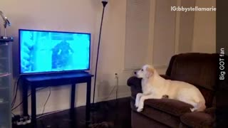 Golden retriever sits on brown couch and watches game of thrones