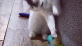 Cat loves her Toy - Video