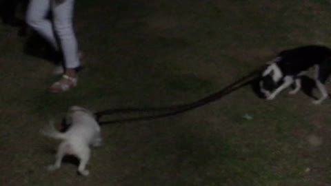 Dog takes dog for a walk