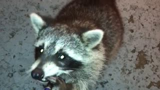 A guy records himself giving a raccoon an e cigarette  - Video